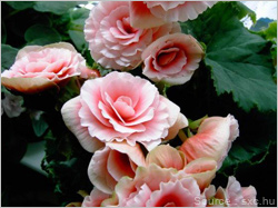 Garden Rose Flowers